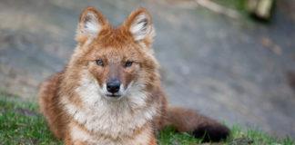 Красный волк фото