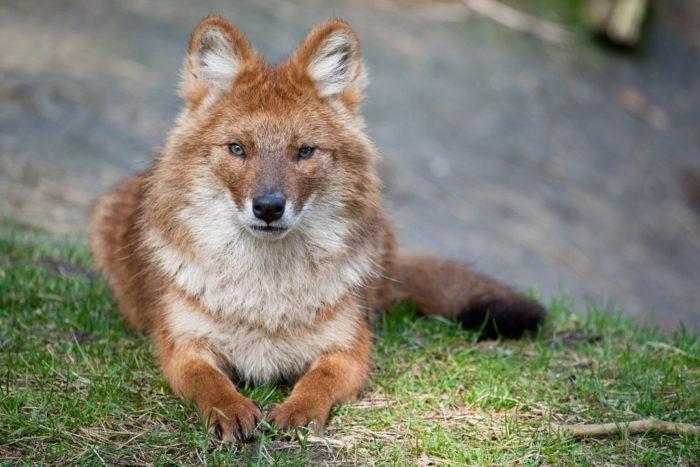Волк красный (Cuon alpinus): фото, виды, интересные факты