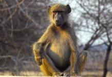 Медвежий павиан фото