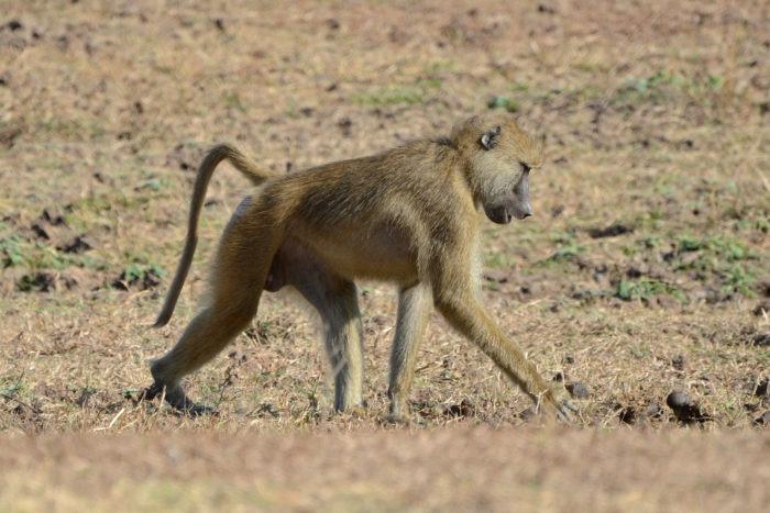 Описание бабуина