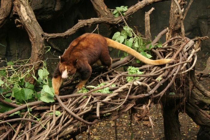 Описание древесного кенгуру