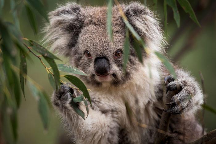 Описание коалы