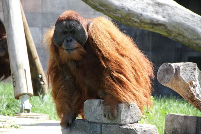 Описание орангутана