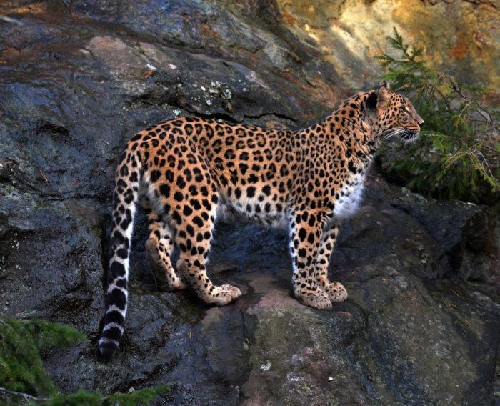 Описание переднеазиатского леопарда