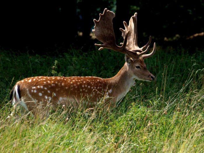 Описание пятнистого оленя