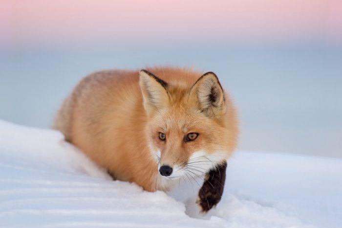 Описание рыжей лисицы