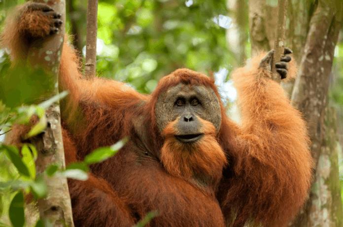 Орангутан фото