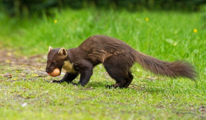 Особенности питания лесной куницы