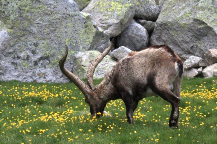 Особенности питания альпийского горного козла