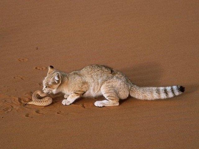 Особенности питания андской кошки