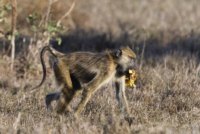 Особенности питания бабуина