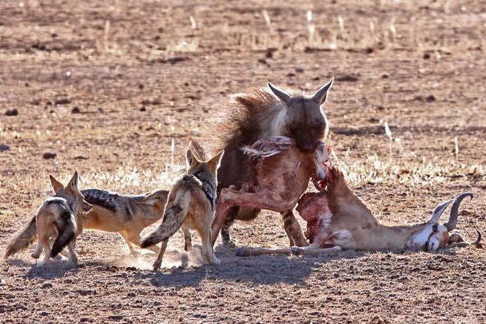 Особенности питания бурой гиены