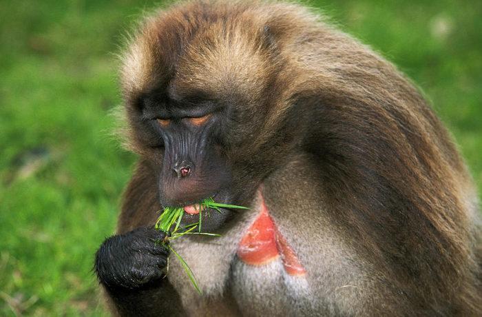 Особенности питания гелады