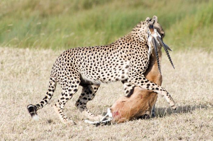 Особенности питания гепарда