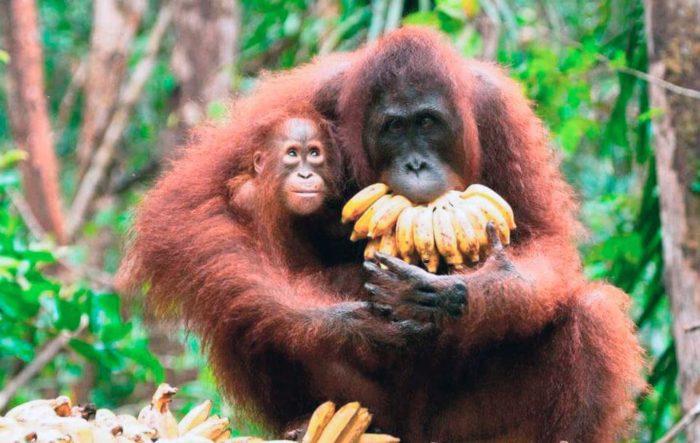 Особенности питания орангутана