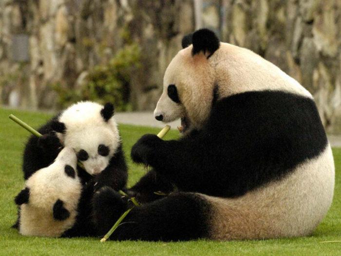 Размножение панды