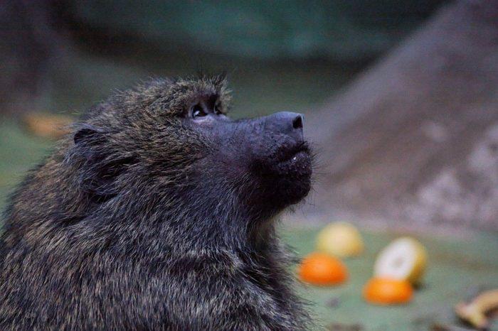 Особенности питания павиана анубиса