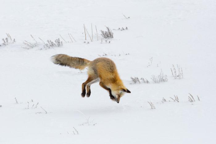 Особенности питания рыжей лисицы