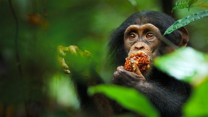 Особенности питания шимпанзе