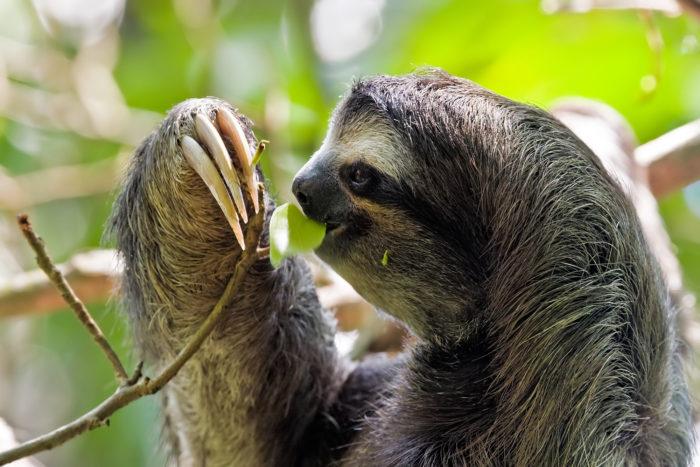 Особенности питания ленивца трехпалого