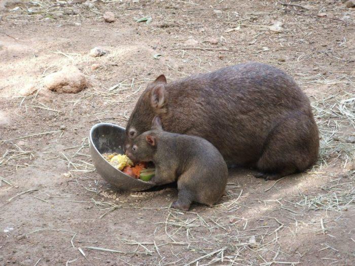 Особенности питания большого вомбата