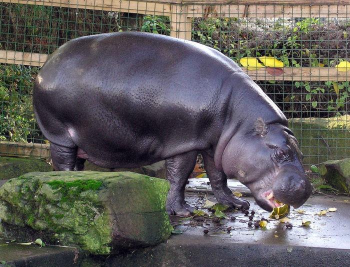 Особенности питания карликового бегемота