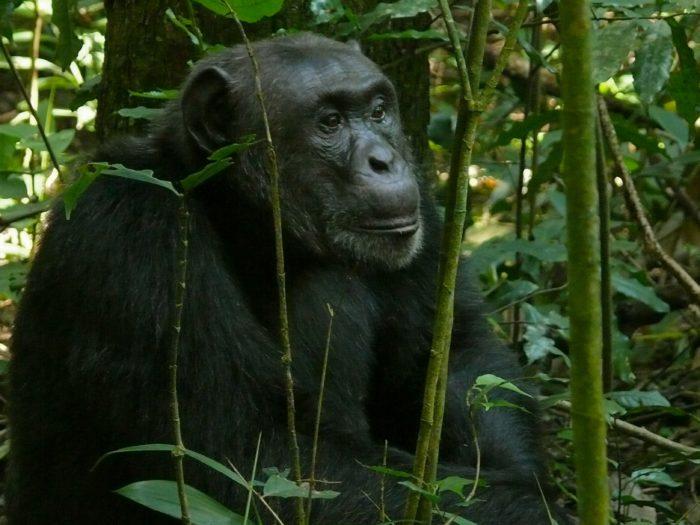 Швейнфуртовский шимпанзе (Pan troglodytes schweinfurthii)