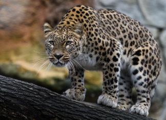 Переднеазиатский, персидский, кавказский леопард (Panthera pardus ciscaucasica) фото