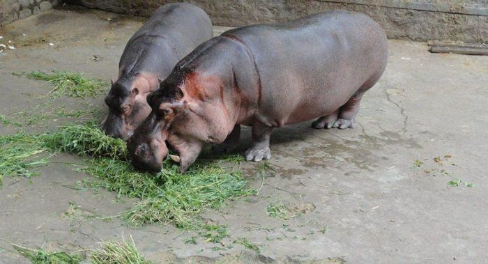 Особенности питания бегемота