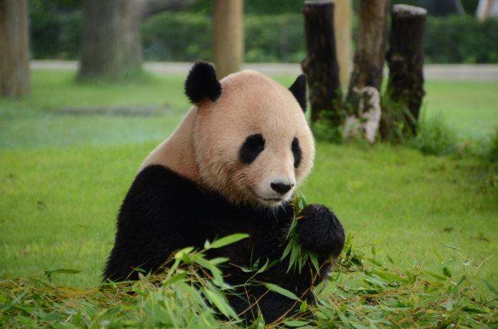 Особенности питания панды