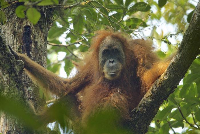 Тапанульский орангутан (Pongo tapanuliensis)