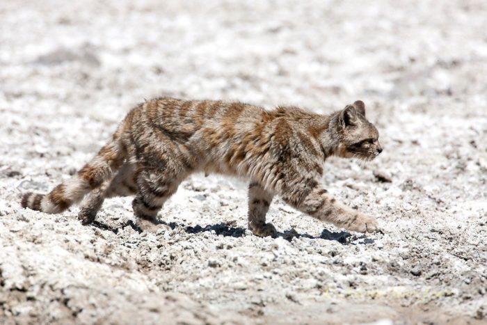 Поведение андской кошки