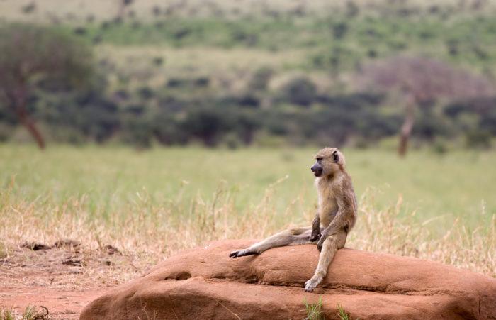 Поведение бабуина