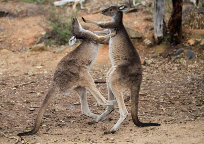 Поведение большого серого кенгуру