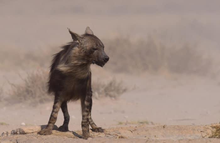 Поведение бурой гиены