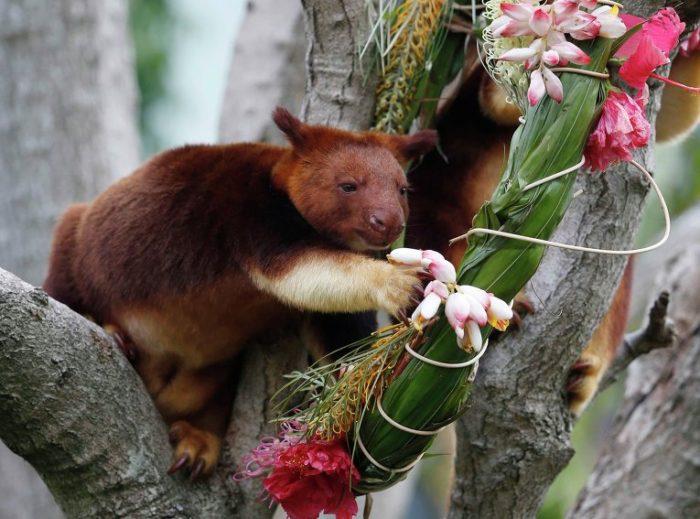 Поведение древесного кенгуру