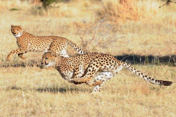 Поведение гепарда