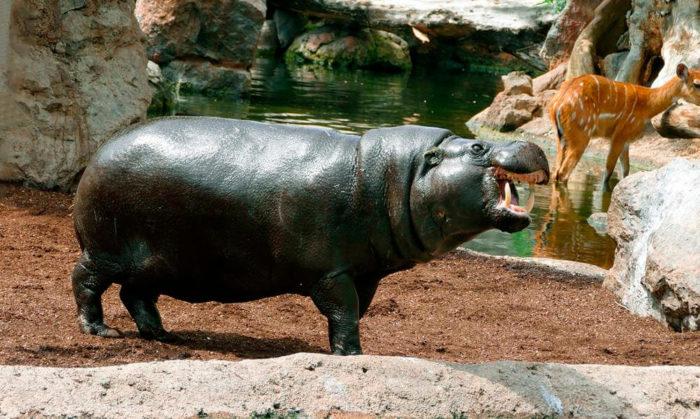 Поведение карликового бегемота