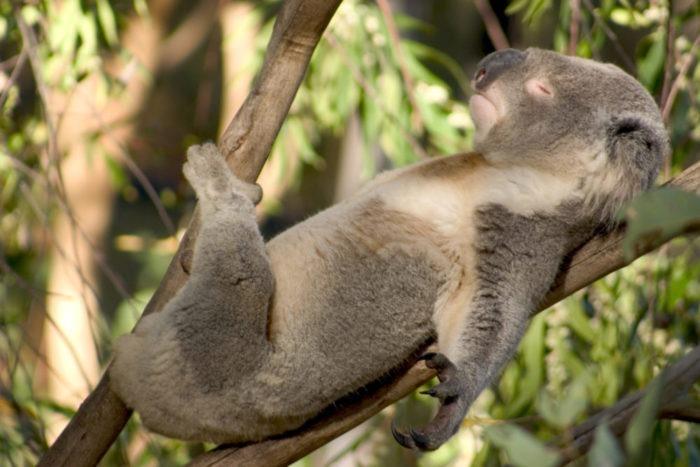Поведение коалы