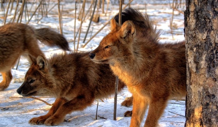 Поведение красного волка