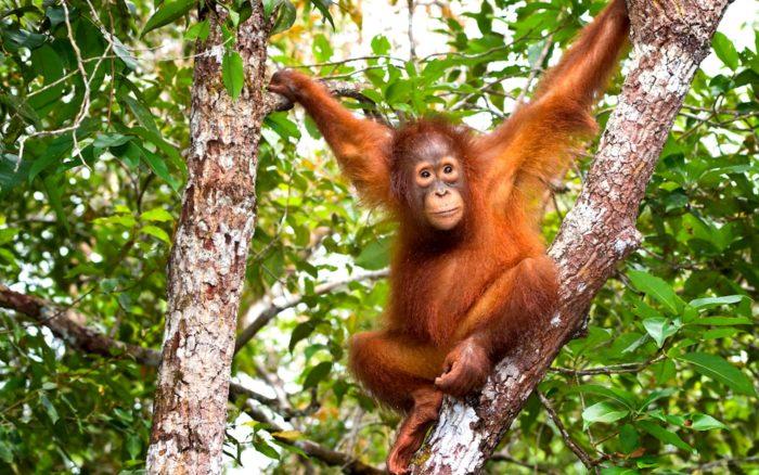 Поведение орангутана