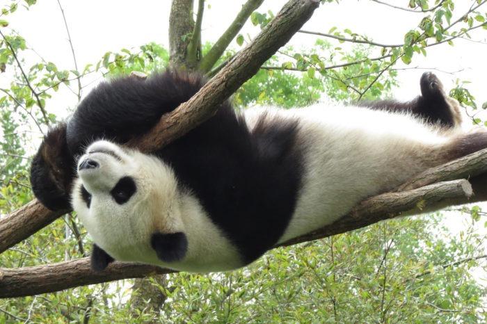 Поведение панды