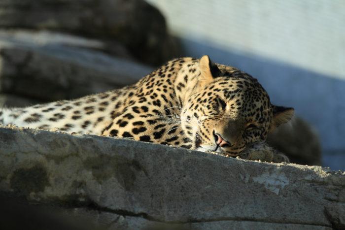 Поведение переднеазиатского леопарда