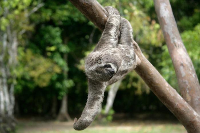 Поведение ленивца трехпалого
