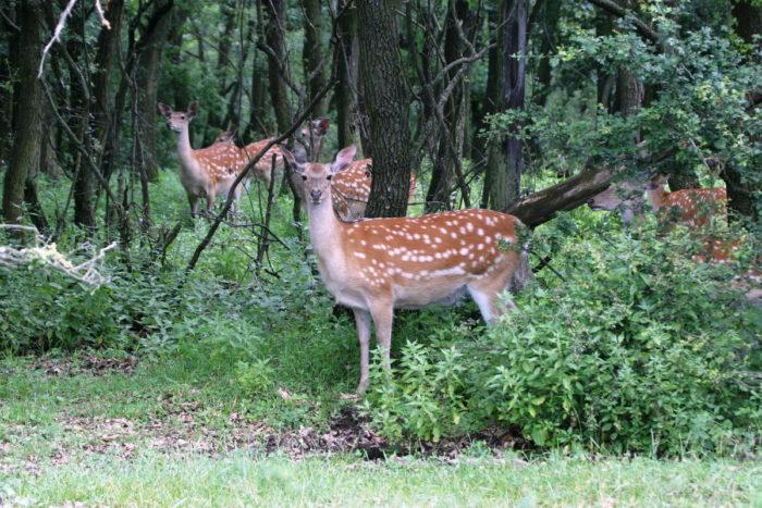 Распространение пятнистого оленя