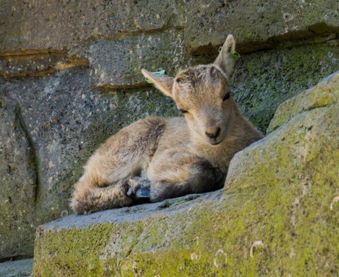 Размножение альпийского горного козла
