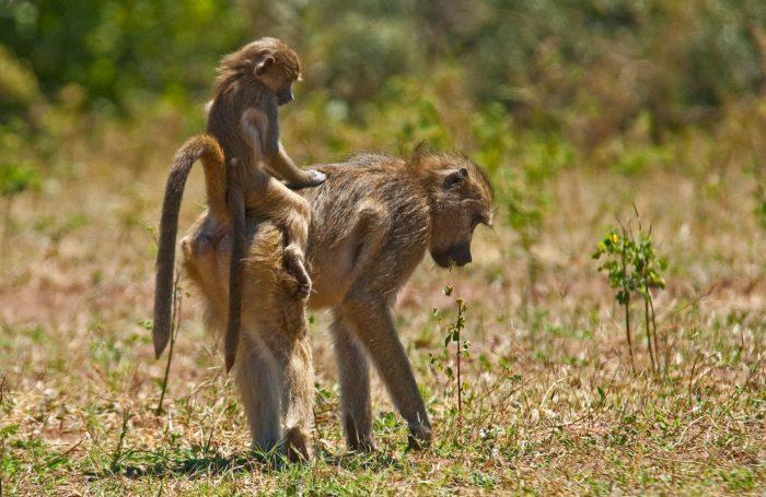 Размножение бабуина