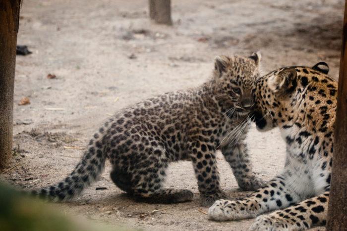 Размножение переднеазиатского леопарда