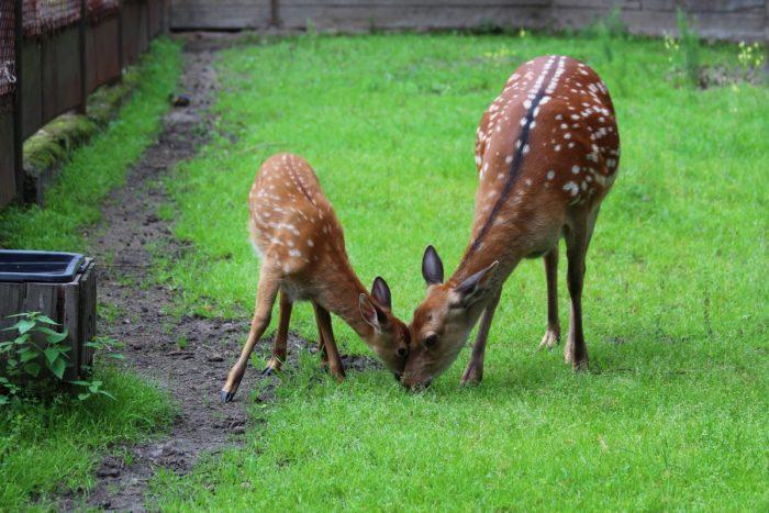 Размножение пятнистого оленя