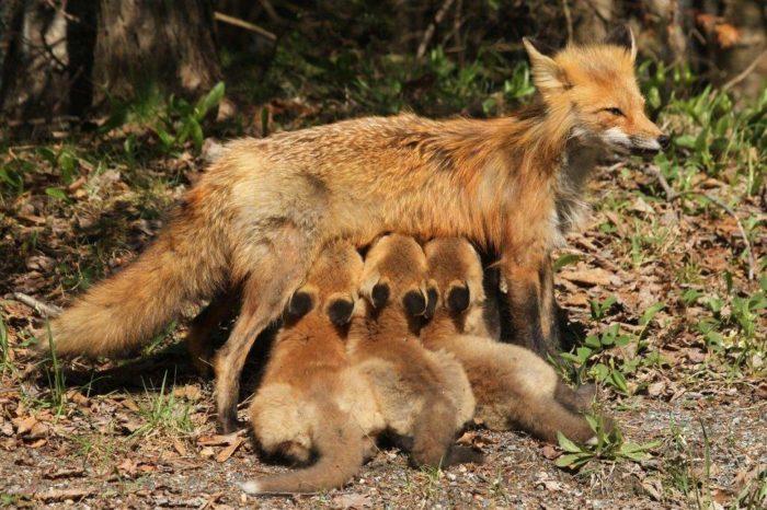 Размножение рыжей лисицы